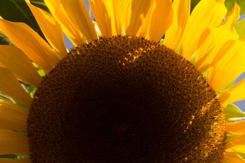 blog photo titled sunflower